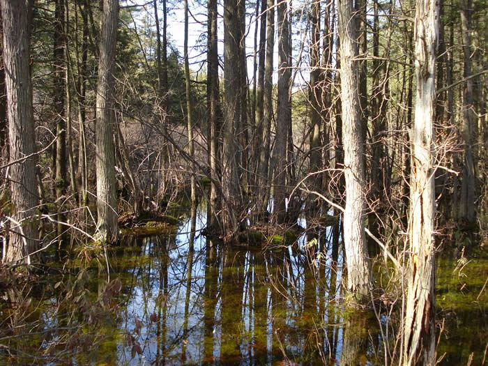 Atlantic White Cedar Swamp